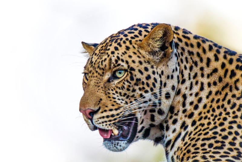 Large male leopard, Botswana.