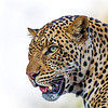 Large male leopard, Botswana.