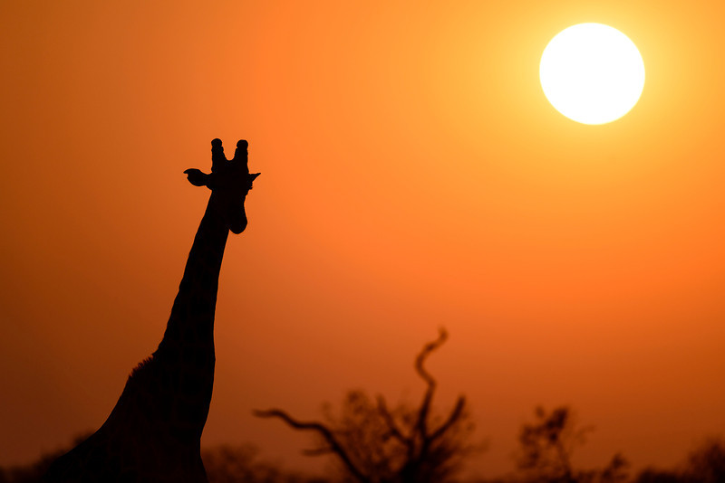 Giraffe at unrise, Moremi game reserve, Botswana