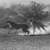 Cheetahs at speed in black and white, Botswana