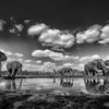 Herd of elephants at a watering hole, Mashatu, Botswana, Africa.