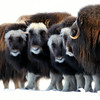 Wild musk ox in thr frozen Arctic, Alaska.