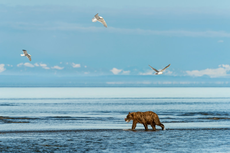 a bear catches a salmon n the river as the gulls circle overhead.  Silver salmon Creek, Lake Clark National Park, Alaska