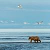 a bear catches a salmon n the river as the gulls circle overhead.  Silver salmon Creek, Lake Clark National Park, Alaska