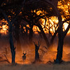 A lone impala in the Botswana sunrise