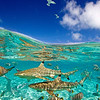 The Bora Bora lagoon is teaming with life. Sharks cruise freely amongst the abundant fish life. Tahiti, French Polynesia.