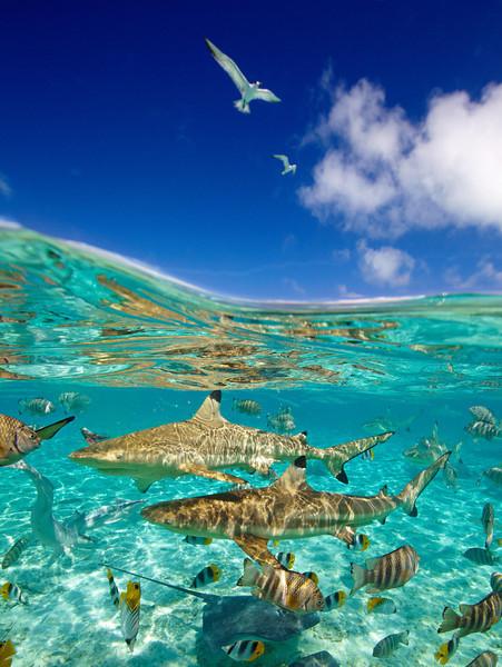 The Bora Bora lagoon is teaming with life. Sharks cruise freely amongst the abundant fish life. Tahiti, French Polynesia.