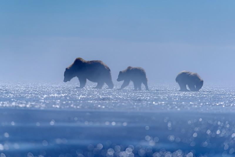 Bears in the fog