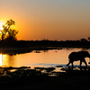 Elephants at sunset, Khwai, Botswana, Africa