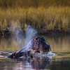 Hippos, Pafuri, South Africa