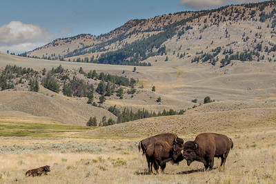 Bison Cow and Calf w/two Bulls, Yellowstone National Park