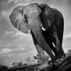 Large elephant up close, Mashatu, Botswana. Africa