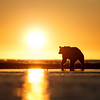 Brown bear walks the tidal flats, Silver Salmon Creek, Lake Clark National Park.  Alaska.