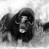 Muskox in a snow storm, Nome, Alaska