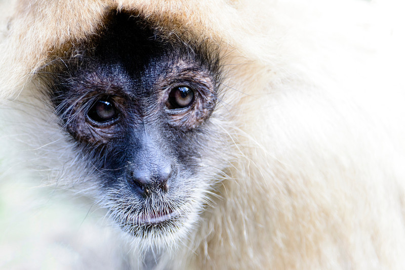 Close up image of a spider monkey