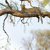 A female leopard in a tree, Savute, Botswana