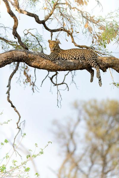 A female leopard in a tree, Savute, Botswana