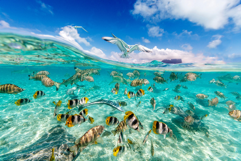 """The plentiful marine life in the Bora Bora lagoon, French Polynesia.  There are sharks, rays, remoras and many many tropical fish species in the huge crystal clear lagoon.  For this shot I positioned my camera - in an underwater housing - half under the water to include a glimpse of the iconic Mount Otemanu in the frame. The seabirds then swooped in to join the feeding frenzy and added yet another dimension to the image.<br /> Photo Chris McLennan.   <a href=""""http://www.cmhoto.co.nz"""">http://www.cmhoto.co.nz</a>"""