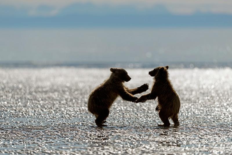Dancing bear cubs