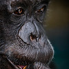 Janie the legendary chimpanzee from Auckland zoo