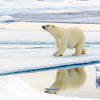 polar bear on the arctic ice, Spitsbergen