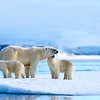 Polar bear family. Spitsbergen.