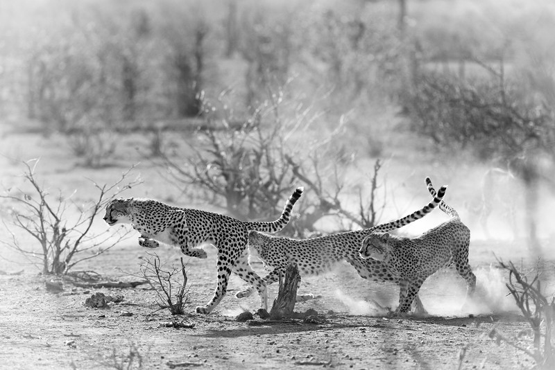 Cheetahs running in the African wilderness, 3 cubs with the mother watching. Black and white.