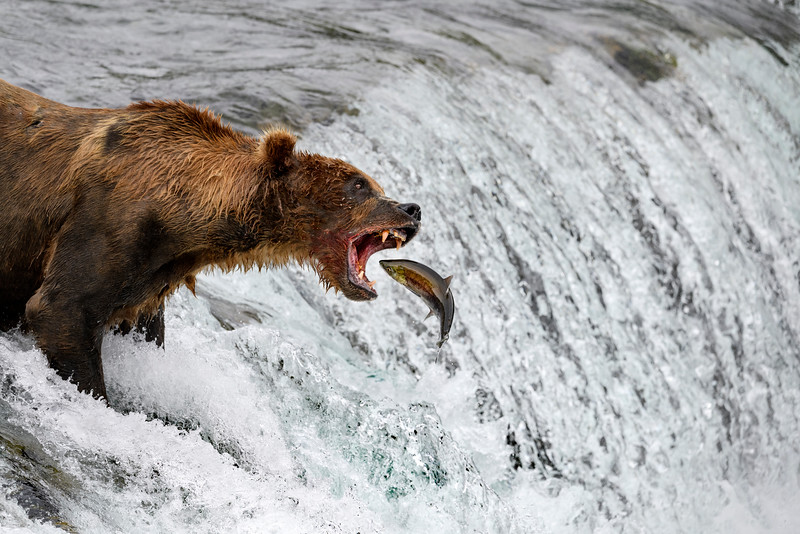 Fishing Bear, Alaska