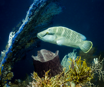 Female Humphead Wrasse