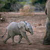 Elephant baby and adult, Mashutu, Botswana, Africa.