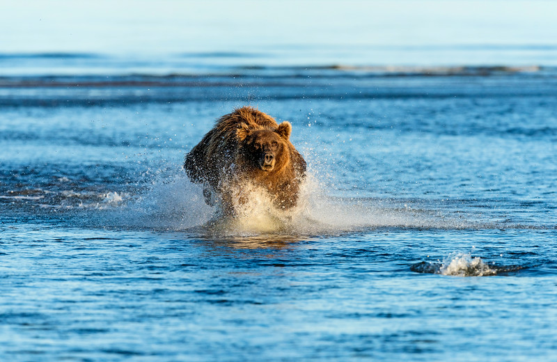 A large brown bear chases a salmon, Silver Salmon Creek, Lake Clark National Park, Alaska.  You can see the salmon pushing upstream in the lower right of the frame.