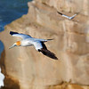 Gannets soaring high above the cliffs, Muriwai, New Zealand
