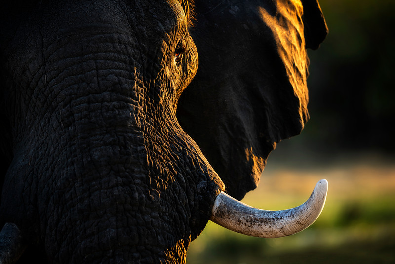 close up elephant, Savute, Botswana, Africa