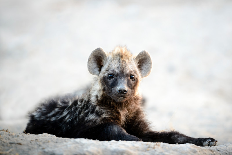 Hyena pup, Botswana, Africa