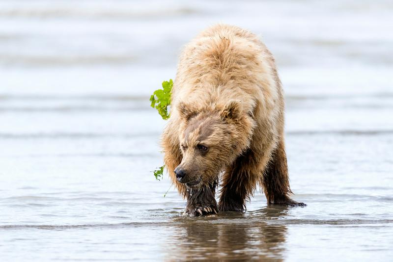 A bear digs for clams on the beach.  Silver Salmon Creek, Lake Clark National Park, Alaska