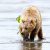 A bear digs for clams on the beach.  Silver Salmon Creek, Lake Clark National Park, Alaska