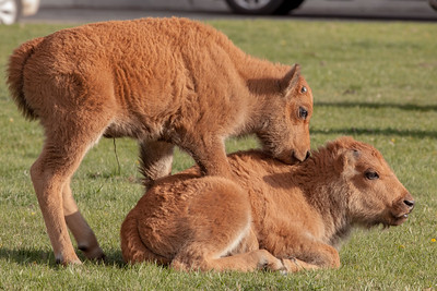 Very Young Bison Calves, Mammoth Hot Springs, Yellowstone National Park