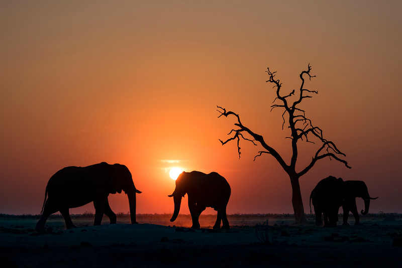 Elephants at sunset, Botswana