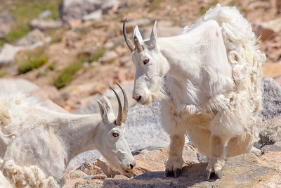 Mountain goat nannies (females) at the Beartooth Pass, off the Beartooth Scenic Highway, Wyoming.