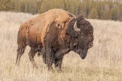 Bull Bison Shedding His Winter Coat, Pelican Valley, Yellowstone National Park