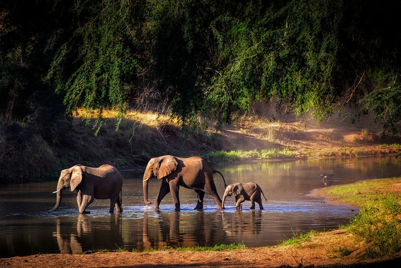 Elephant crossing the Limpopo River, Pafuri, South Africa.