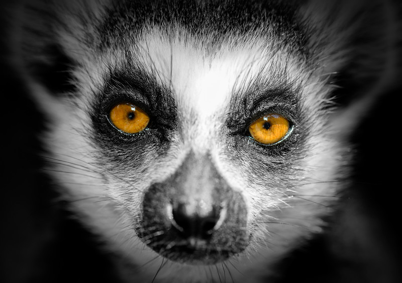 Close up of a ring tailed lemur's face.