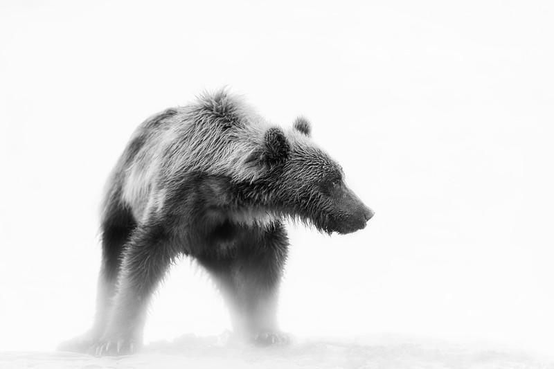 Grizzly bear in the morning fog, Alaska
