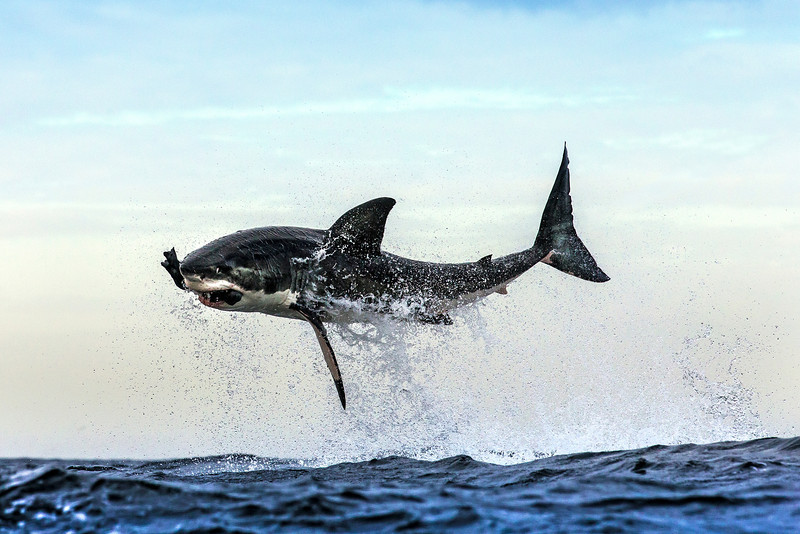 Great white shark takes decoy seal off Seal Island, False Bay, South Africa.
