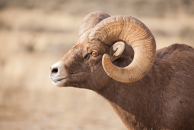 Bighorn Sheep Ram, Gardiner Basin, Montana