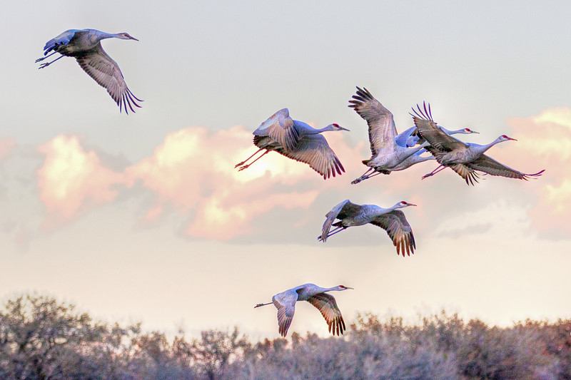 Cranes taking off at Sunset