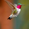 Hovering hummingbird. Colorado. USA