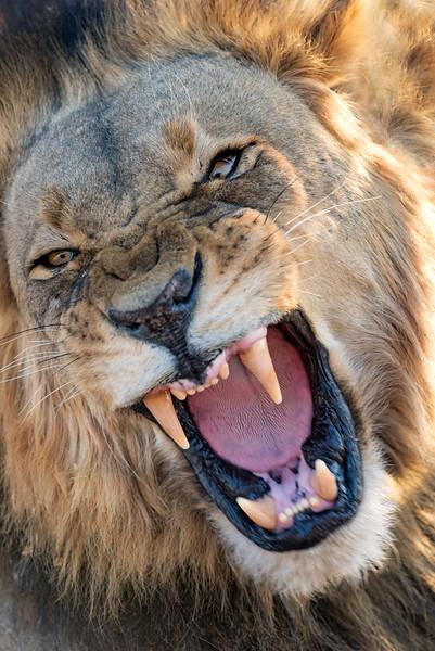 A roaring lion, Botswana
