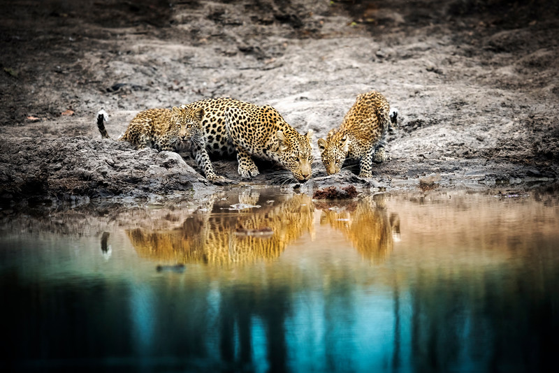 leopard and cubs drink at water hole