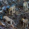Four juvenile cheetahs explore a rock face, Mashatu, Botswana, Africa.